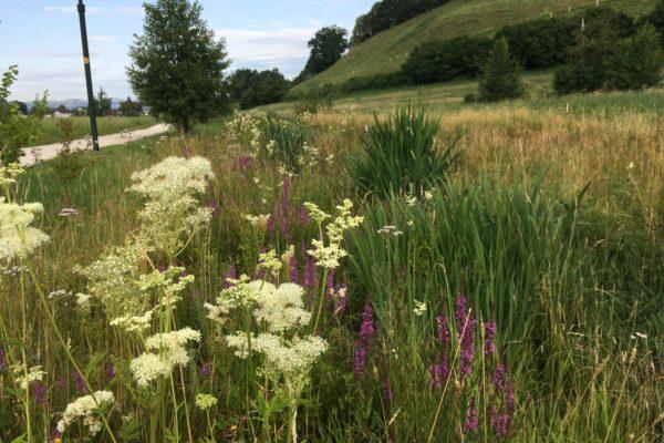 Üppig wachsende Hochstaudenflur mit Blütenvielfalt im Sommer